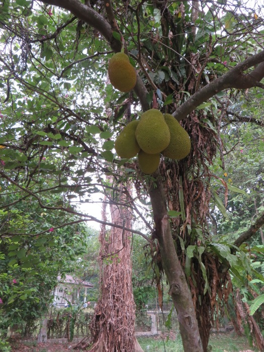Jackfruit in the wild.